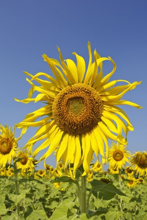 This is Sunflowers in Thailand  photo