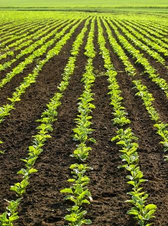 Regular lines pattern on sugar beet field Stock Photo