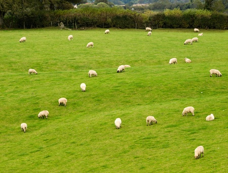 Herd of irish sheeps on pasture  photo