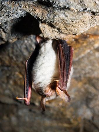 Greater mouse-eared bat (Myotis myotis)