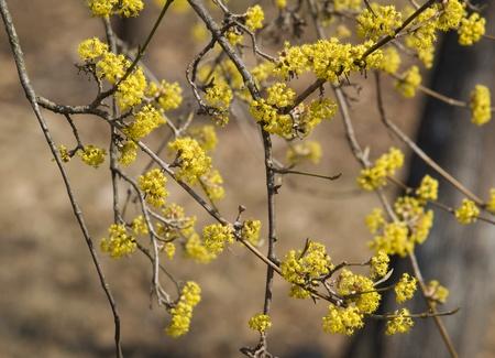 mas: European cornel (Cornus mas) in bloom
