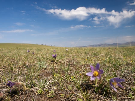 pulsatilla: Spring mongolian steppe with flowers