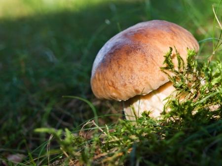 cep: Detail of the edible boletus mushroom in moss