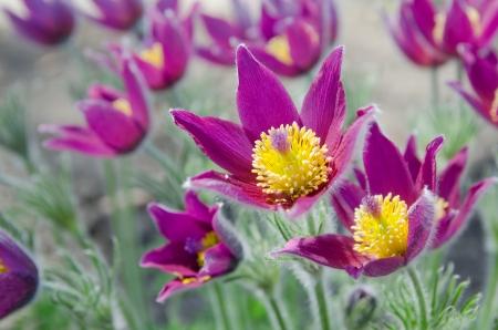 Group od flowering purple pasque flowers  Pulsatilla