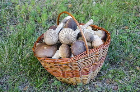 Freshly picked mushrooms in the basket photo