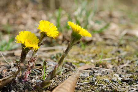 Flowering yellow coltsfoot (Tussilago farfara)