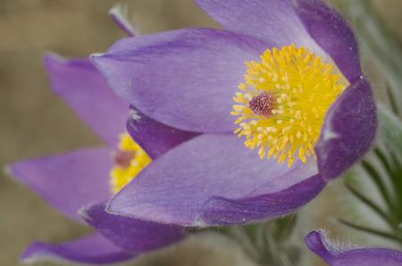 pulsatilla: Detail of wild flowering purple pasque flowers (Pulsatilla)