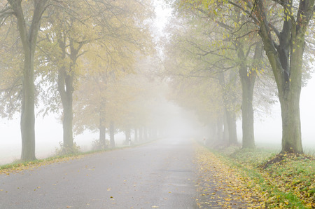 limetree: Autumnal foggy country road with colorful lime trees alley