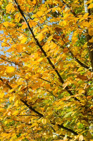 ironwood: Autumnal hornbeam tree with colorful leafs