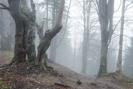 Early spring in misty woods with Beech trees in Mala Fatra NP, Slovakia