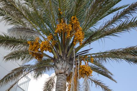 Dates fruit on the palm tree, Mallorca, Spain
