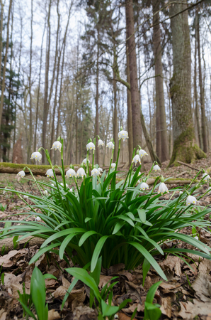 Group of wild flowering Snowdrops (Leucojum vernum) in the spring forest