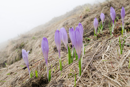 Wild crocuses flowering in the spring mountains of Mala Fatra NP, Slovakia Stock Photo