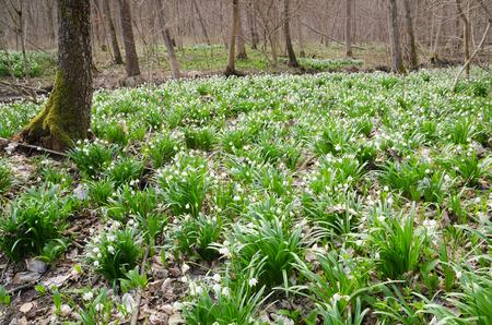 Spring forest full of wild flowering Snowdrops (Leucojum vernum) Stock Photo