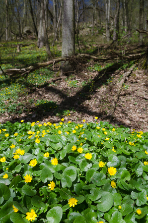 Group of flowering Pileworts (Ficaria verna) in the spring forest in Oslava valley, Czech Republic