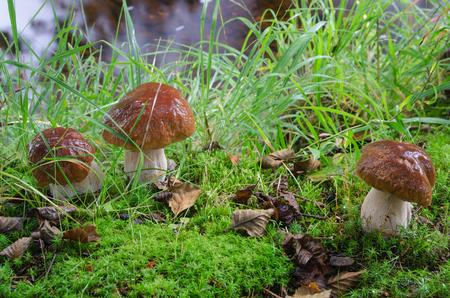 Gruppe der essbaren Steinpilze im grasbewachsenen Wald, Norwegen
