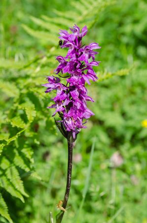 Detail of flowering wild Alpine Dactylorhiza Orchid