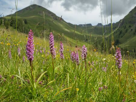 Alpine landscape with flowering Common Fragrant Orchid (Gymnadenia conopsea) in Hohe Tauern NP, Austria