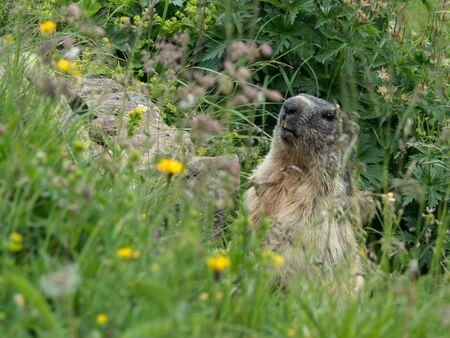 Alpine Marmot (Marmota marmota) on the Alpine meadow, Switzerland