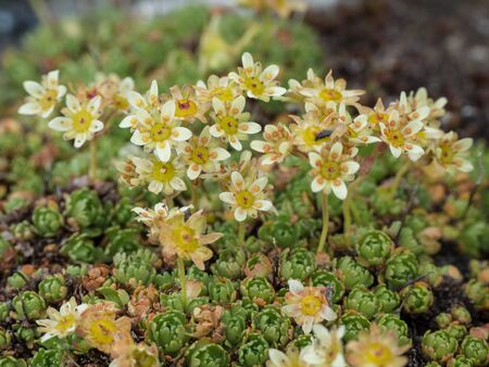 Close-up of flowering Alpine Saxifraga, Hohe Tauern, Austria
