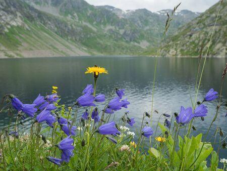 Flowering Campanulas and Alpine lake Lago della Sella near Gotthard Pass, Switzerland
