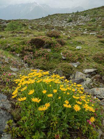 Yellow flowers of Doronicum with Alpine peaks and pink Azalea flowers in Hohe Tauern NP, Austria Standard-Bild