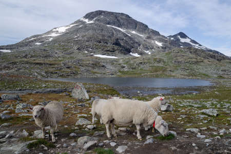 Grazing sheep on pasture in the mountais of Jotunheimen national park, Norway, Scandinavia