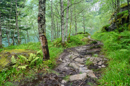 Hiking trail in the rainy wet forest with birch trees, grass and fern, Bondhusdalen valley, Norway, Scandinavia