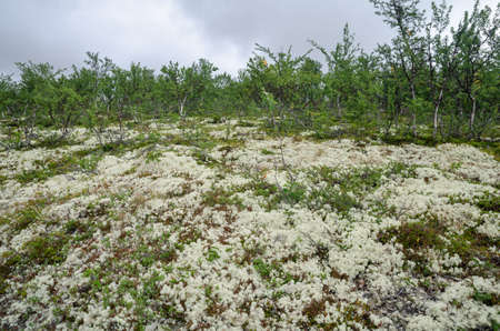 Scandinavian tundra with lichens and dwarf birch trees, Rondane national park, Norway