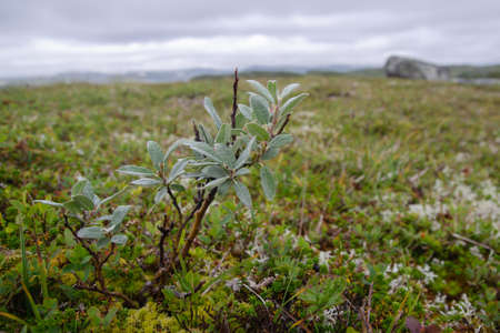 Detail of tundra vegetation with dwarf arctic Willow (Salix) in central Norway, Scandinavia