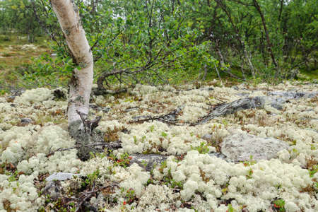 Scandinavian tundra with lichens and Birch trees (Betula), Rondane national park, Norway Standard-Bild