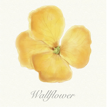 Yellow wallflower isolated on a watercolor paper background with its name Фото со стока