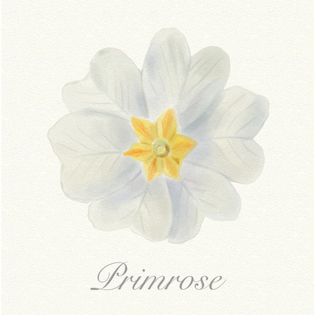 White primrose isolated on a watercolor paper background with its name Zdjęcie Seryjne