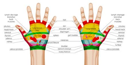 acupuntura china: esquema de acupuntura manos. ilustración vectorial Vectores
