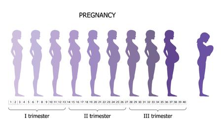 vientre femenino: Infografía de la mujer embarazada en diferentes ped. ilustración vectorial