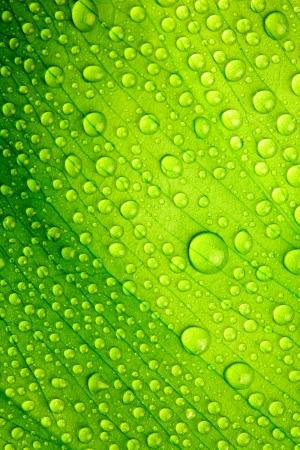 leaf vein: Green leaf with drops of water Stock Photo