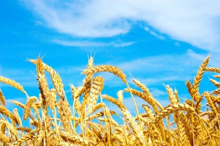 haver veld: Gebied van tarwe met blauwe hemel Stockfoto