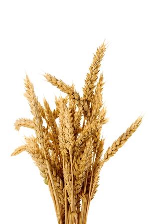 Espigas de trigo aislado en el fondo blanco