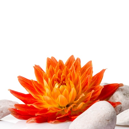 Orange dahlia isolated on white background photo