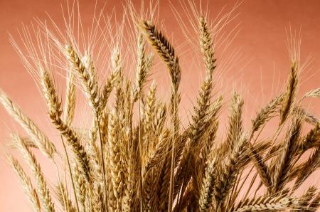 Earth of wheat  photo