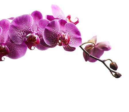 Purple orchid flowers isolated on white background photo