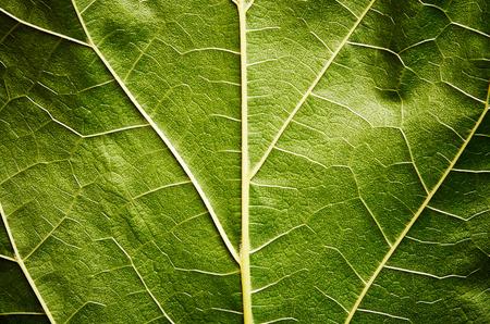 leaf close up: Green leaf close up
