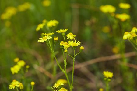 champ de fleurs: Belles fleurs jaunes sur le terrain. Nature background