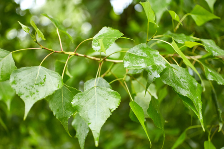 arbol alamo: Follaje del �rbol de �lamo. La naturaleza de fondo