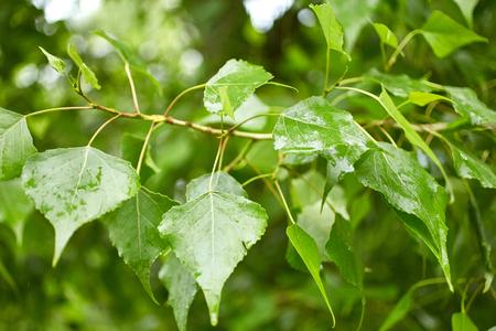 arbol alamo: Follaje del árbol de álamo. La naturaleza de fondo