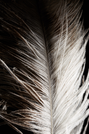 feather boa: Ostrich feather on black background