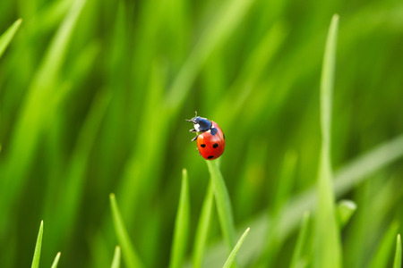 Beautiful ladybug on green grass. Nature background