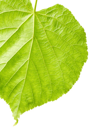 leaf close up: Green leaf close up isolated on white background