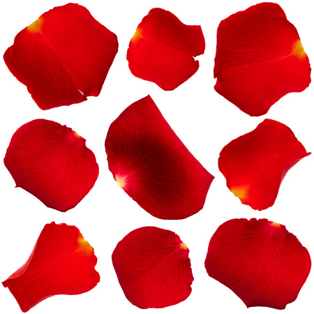 Set of red rose petals isolated on white background