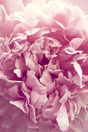 Beautiful pink peony flower close up